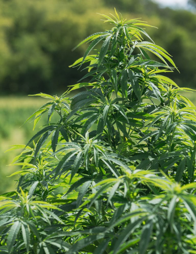 photo of hemp plant